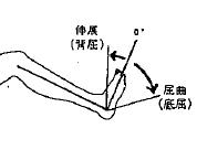 足の屈曲(底屈)/伸展(背屈)の参考図